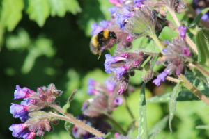 Bumblebees on Pulmonaria